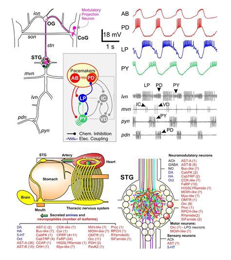central pattern generator tutorial stomatogastric ganglion module