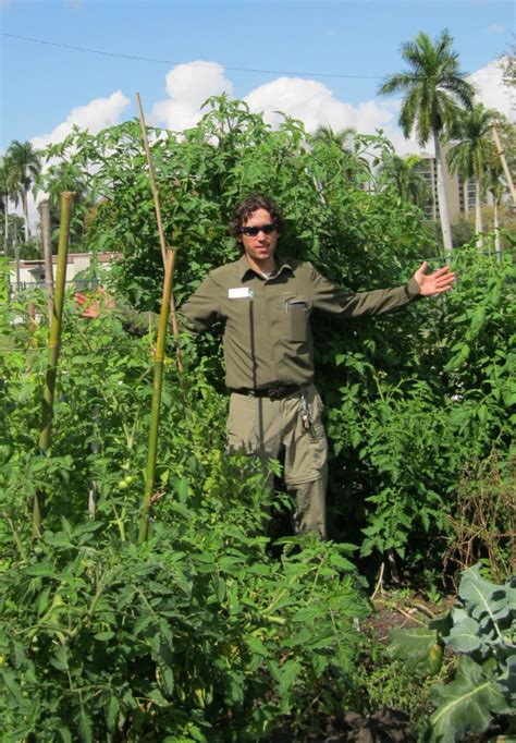 Check Out These Delicious Heirloom Tomatoes That We Grew Florida Winter Vegetable Garden
