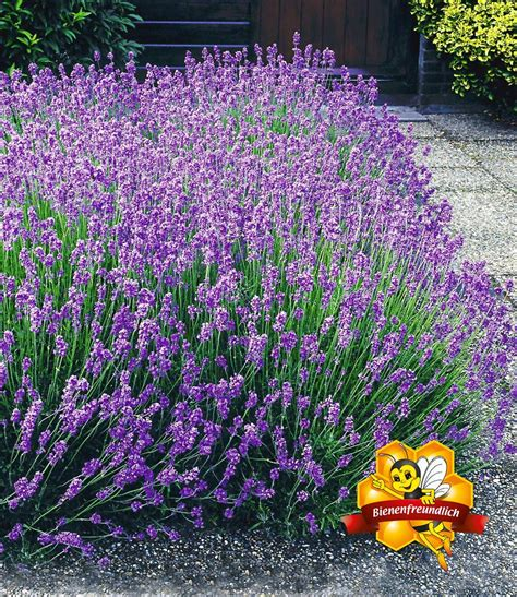 lavendel im garten lavendel hecke blau kaufen bei baldur garten