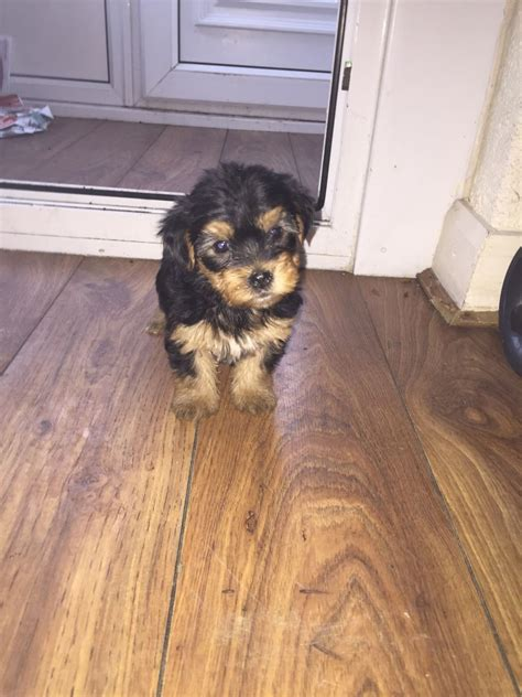 small yorkies for sale uk small terriers for sale wolverhton west midlands pets4homes