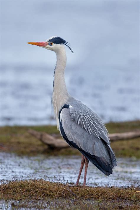 Oneck Stripes Grey grey heron