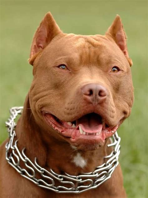 brown pit brown american pit bull terrier laughing image punjabigraphics