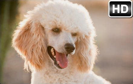 poodle wallpaper cute dogs  tab themes hd wallpapers