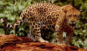 Tropical Rainforest Jaguar In The Tropics Tropical Forests
