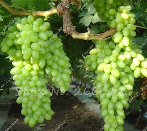 grapes fruit tree get cheap grape tree plant aliexpress