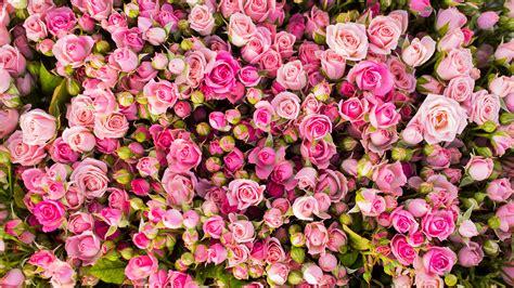 rosa blühende bäume 1716 die 57 besten blumen hintergrundbilder f 252 r pc