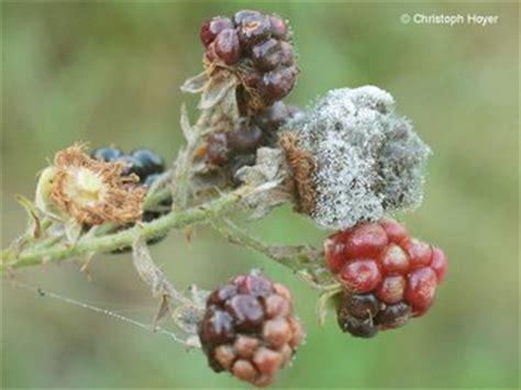 Brombeeren Krankheiten by Grauschimmel Brombeere Obst Pflanzenschutzinfothek