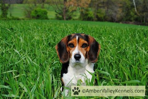 beagle puppies for sale in wv valley kennels beagle puppies for sale in maryland