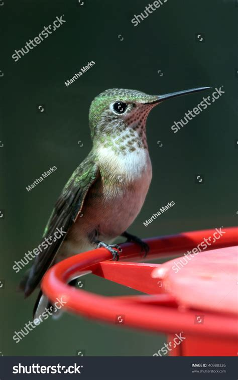 broad tailed hummingbird on feeder perch stock photo