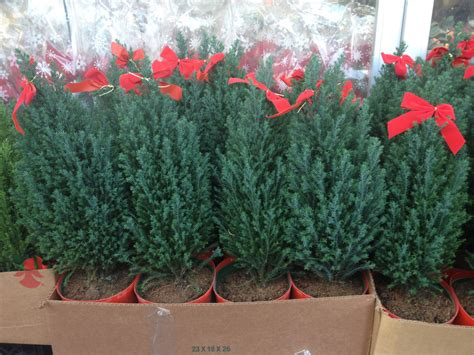 potted christmas trees potted christmas trees are for