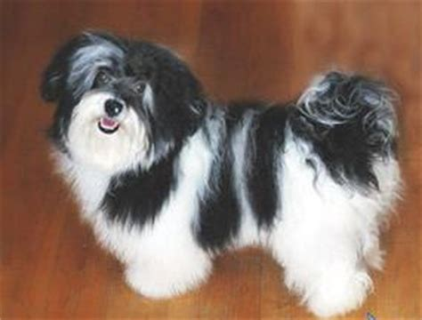 havanese allergies 22 best images about those precious havanese on dogs abyssinian cat