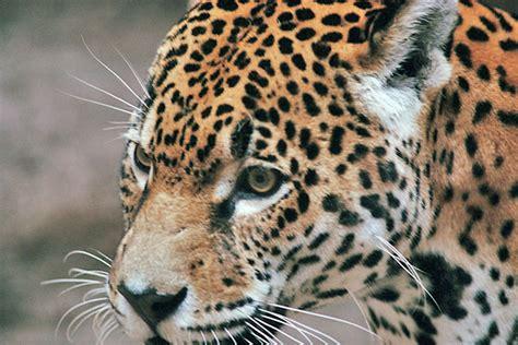 imagenes de jaguares para dibujar jaguar panthera onca
