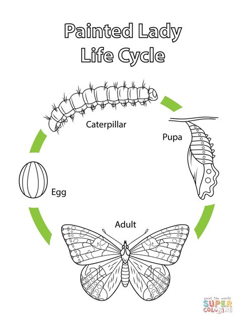 butterfly life cycle coloring page druntk