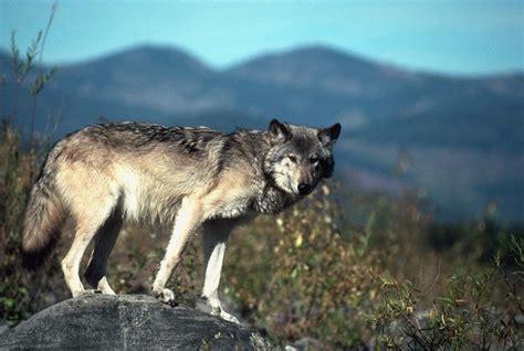 On Wolf rottyrus wolf