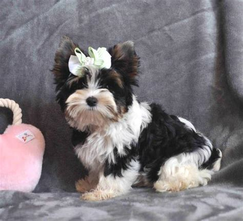 how do yorkies to be to breed parti yorkies yorkie puppies yorkie puppy yorkies for sale parti yorkie