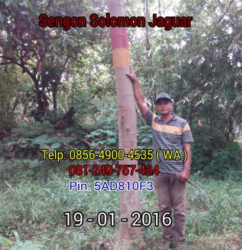 Bibit Sengon Solomon Asli jual benih sengon solomon jaguar f1 2016 02 07
