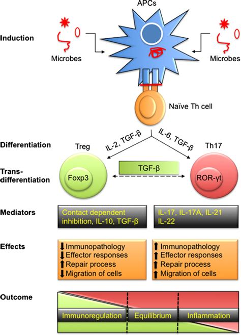frontiers the of regulatory t frontiers interplay of regulatory t cell and th17 cells