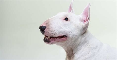 which breed the bull terrier
