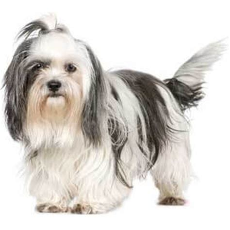renal dysplasia in shih tzu shih tzu breed 187 information pictures more