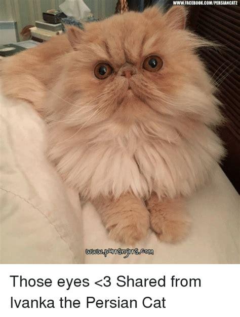 Persian Cat Meme - persian cat meme funny cute cats