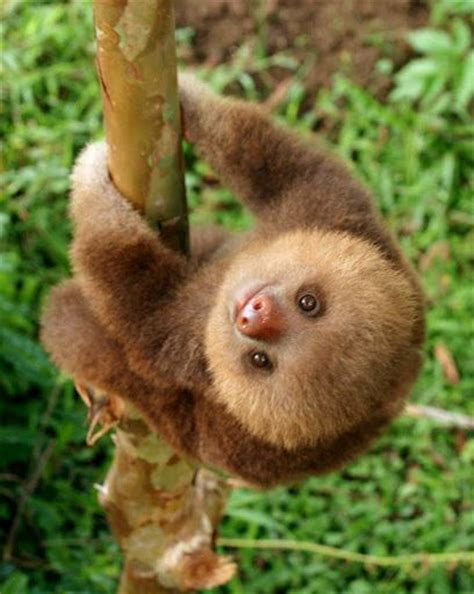 25  best ideas about Baby Sloth on Pinterest   Sloths