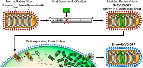 m protein virus monosynaptic circuit tracing with glycoprotein deleted