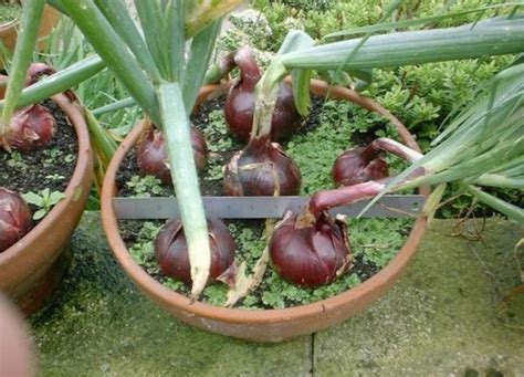 menanam bawang merah  pot bibitbungacom