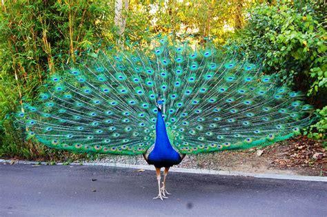 merak hijau kumpulan gambar burung merak cantik terbaru