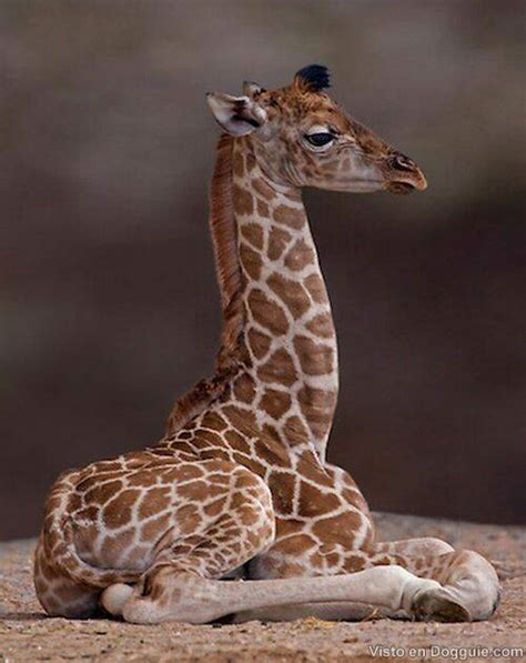 Imagenes De Jirafas Bebés | jirafas bebes dogguie