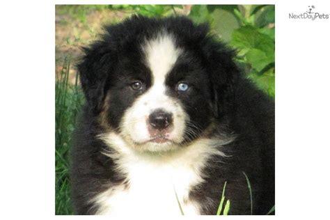 black tri australian shepherd puppy australian shepherd puppies for sale australian shepherd puppy breeds picture