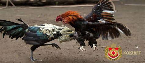 Bibit Ayam Sayur berita ayam arsip agen bola judi bola casino