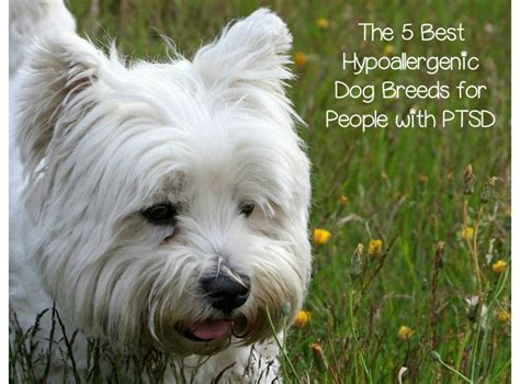 therapy dogs for ptsd best hypoallergenic breeds for ptsd