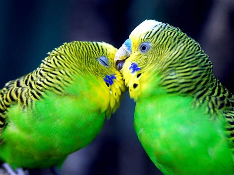 imagenes de love birds all wallpapers parrot hd wallpapers 2