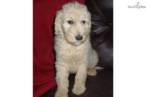 goldendoodle puppy alabama teddy goldendoodle puppy for sale near birmingham