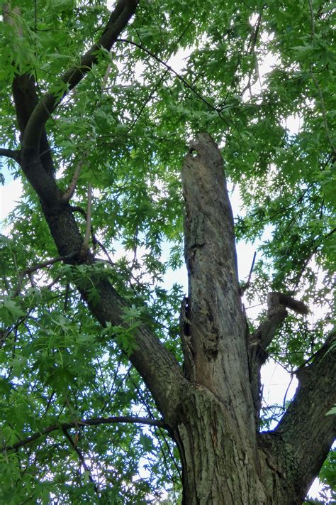 maple tree decline maple decline information reasons for maple dieback in the landscape