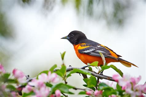 birds of new york baltimore oriole