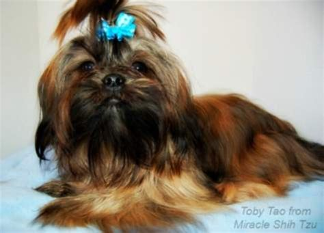 shih tzu coat colors brown and black shih tzu dogs www pixshark images galleries with a bite