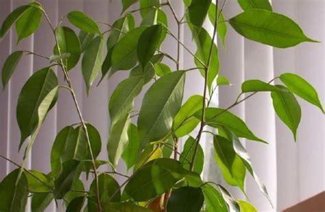 Ficus Benjamin Come Curarlo by Piante Da Appartamento Come Curare Il Ficus Benjamin Www
