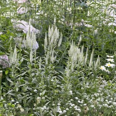 witte border bloemen borderpakket witte bloemen voor een kleine tuin directplant