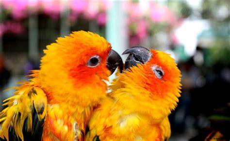 wallpaper cute bird wallpaper hd cute parrots love mega wallpapers