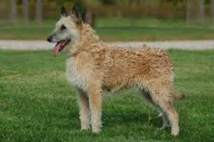 belgian shepherd laekenois puppies for sale belgian shepherd dog malinois image 2 dog breeds picture