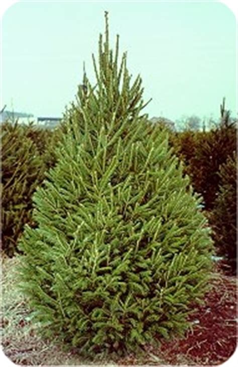 7 8 foot black hills spruce christmas tree