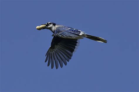 blue jay information facts pictures and bird feeding