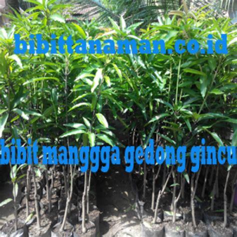 Jual Bibit Buah Tin Jawa Tengah jual bibit tanaman unggul murah di purworejo