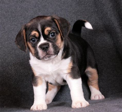puppies for sale in tulsa beagle puppies in tulsa breeds picture