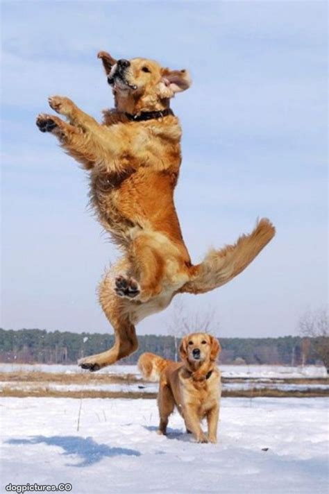 golden retriever jumping 71 best images about golden retrievers jumping on