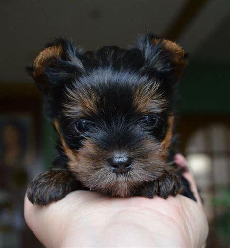 buy teacup yorkies best 20 terrier puppies ideas on puppies adorable