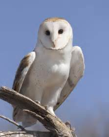 Barn Own Barn Owl Audubon Field Guide