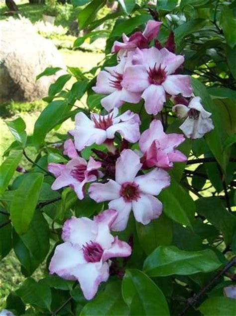 climbing plants sun climbing vines shrubs and pink flowers on