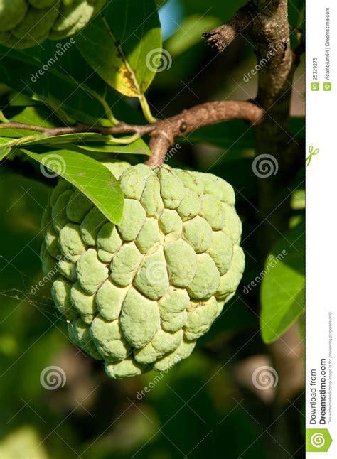 custard apple fruit tree custard apple fruit on tree royalty free stock photo